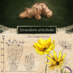 JERUSALEM ARTICHOKE (SUNROOT)